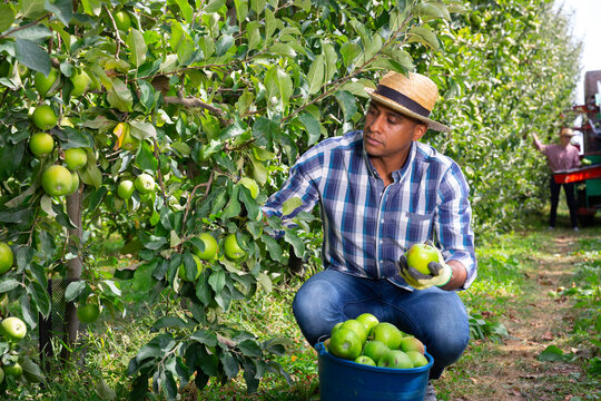 Successful male owner of citrus farm gathering harvest of ripe apples
