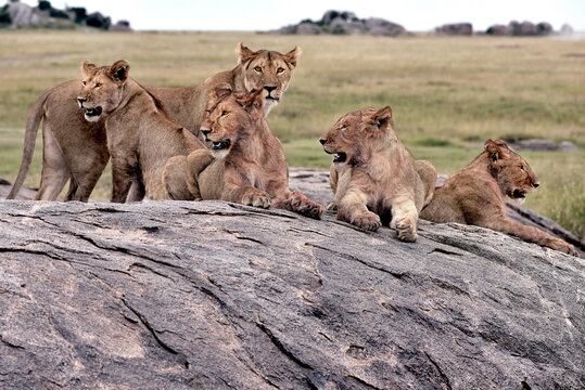 Lions,  shaking, love, couple