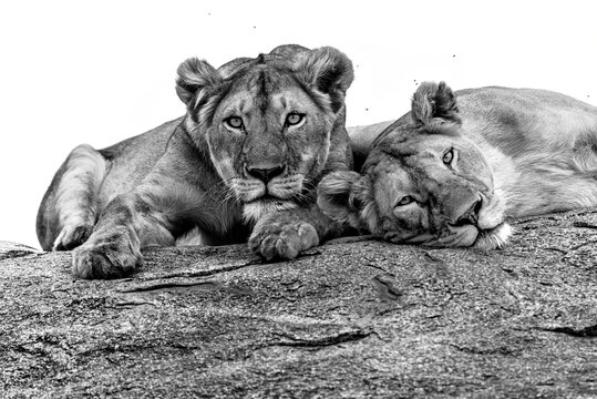 B&W lions