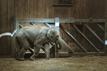 mały słoń na wybiegu w zoo podziwiany przez widzów