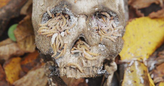 Maggots crawling on dead skull closeup footage