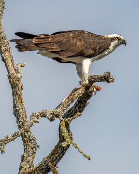 Osprey up in a tree at Lake Bastrop, Texas