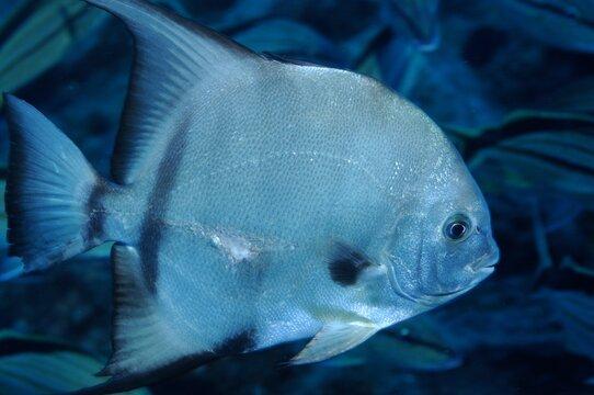 Atlantic spadefish, Underwater photography , Fishes of Flower Garden Banks