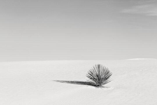 black and white of lone cactus in sand desert dune, minimalist.