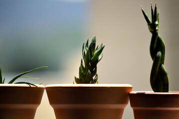 Cactos e suculentas tomando sol na janela