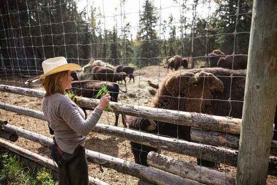Female rancher feeding grass to bison at fence on sunny ranch