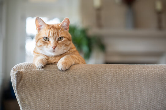 Orange tabby rescue cat perched on couch