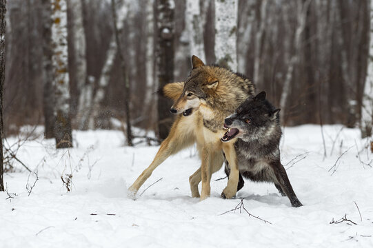 Black-Phase (Canis lupus) Conflicts With Pack Member Winter