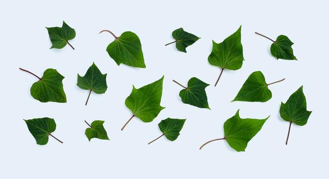 Sweet potato leaves on white