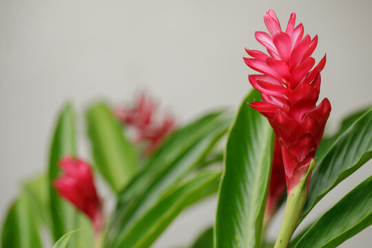 Red Ginger (Zingiber officinale Roscoe Scientific name:), flowering red, beautiful and blooming in the garden.