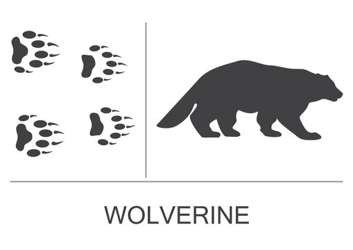 Silhouette of a wolverine and prints of the hind and fore paws. Vector illustration on a white background.