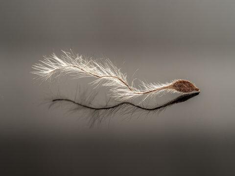 Macro shot of a dry seed of Travellers joy - Clematis vitalba.