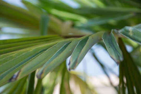 Sabal minor, known as dwarf palmetto,beautiful leaf of a palm, green background, saw palmetto. Selective focus, beauty in nature
