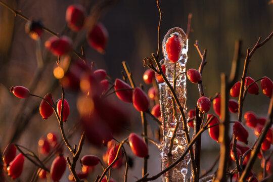 Hagebutten in Eis im Tageslicht