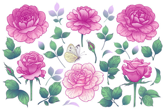 Pink Rose Flowers, Buds and Green Leaves