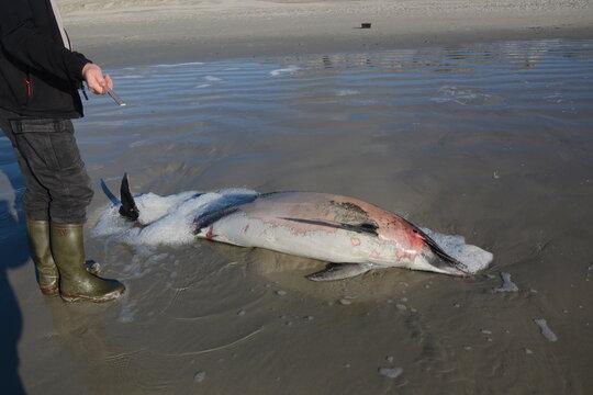 dauphin mort sur la plage