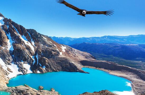 Condor in Patagonia