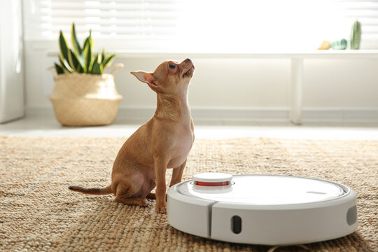Modern robotic vacuum cleaner and Chihuahua dog on floor at home