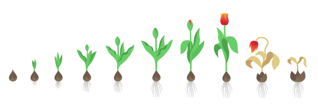 Tulip flower plant. Tulipa gesneriana. Growth stages. Growing period steps. Harvest animation progression. Fertilization phase. Cycle of life. Vector infographic set.