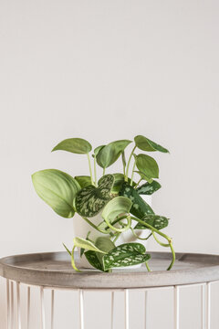 Beautiful trending tropical houseplant  scindapsus silvery ann with silver velvety leaves also known as scindapsus pictus in a white pot on a white background. Urban gardening