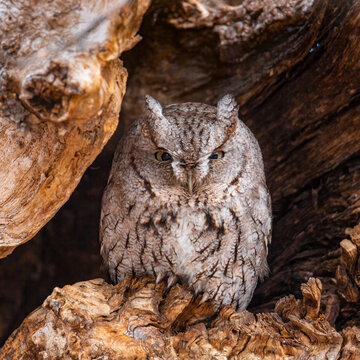 Close up of Eastern screech owl in daylight hours