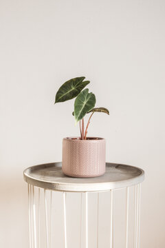 Beautiful Alocasia Pink Dragon sprouting a new leaf in a pink chevron pot. Trending tropical houseplants