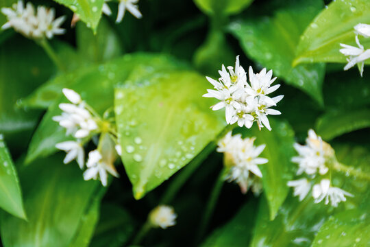 wild garlic blossom in dew drops. green nature background view from the top. leaves of wood garlic plant are used as salad, herb, in soup or for pesto sauce. in korea known as mountain garlic