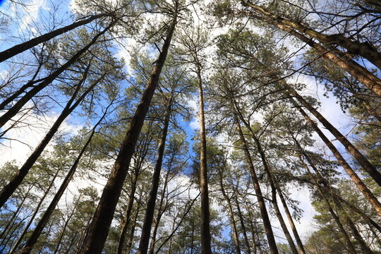 Yellow Loblolly Pine Trees (Pinus taeda)