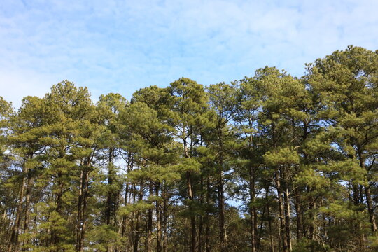Yellow Pine Trees (Pinus taeda), commonly known as Loblolly pine