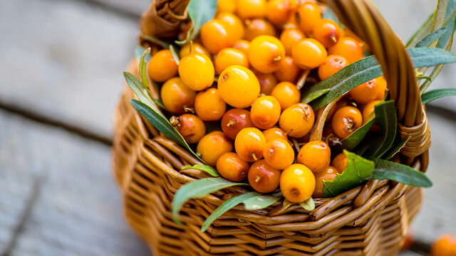 Yellow berries Hippophae and leaves. basket of sea buckthorns. Harvest sallowthorn. Collecting ripe berries seaberry for preparation of medicinal plants and cooking infusions and sandthorn tea.