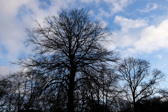 Silhouettes of leafless trees against cloudy sky