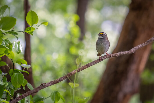 A  white-throated sparrow (Zonotrichia albicollis) welcomes spring to the forest. Raleigh, North Carolina
