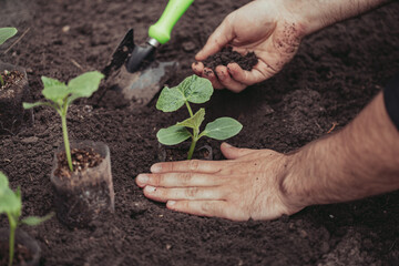Fototapeta Healthy organic food concept. Seedling of a green plant of a cucumber. Spring. Male hands rake the earth around the sprout. Close-up - a human hand holding a seedling uses a small garden shovel. obraz