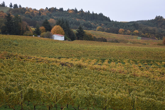 Closeup shot of a scenic vineyard in Willamette Valley, Oregon wine country