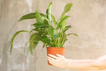 A green flower, a houseplant in a pot, held in the hands of a young woman against a gray wall. No...