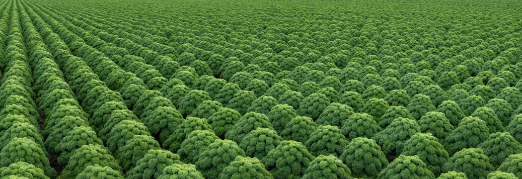 Kale. Field of kale. Vegetables. Noord Holland Netherlands. Agriculture. Open ground vegetables. Panorama.