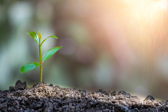 Agriculture and young plant grow sequence with morning sunlight and green blur background. Germinating seedling grow step sprout growing from seed. Nature ecology and growth concept with copy space.