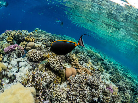 Amazing underwater life in colorful coral reef of Red sea