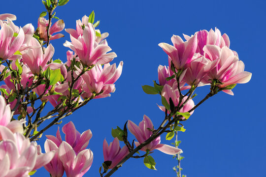 pink blossom of magnolia tree in spring. flowers on the branches in bright sunlight. beautiful nature background beneath a deep blue cloudless sky