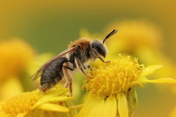 Macro shot of a mining bee on a yellow ragwort flower