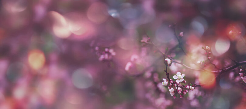 Flowering apricot, beatiful spring flowers natural colorful background, blurred image, space for text, banner
