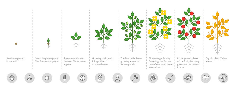Plant growth stages. Growing period steps. Harvest animation progression. Fertilization phase. Cycle of life. Vector infographic set.