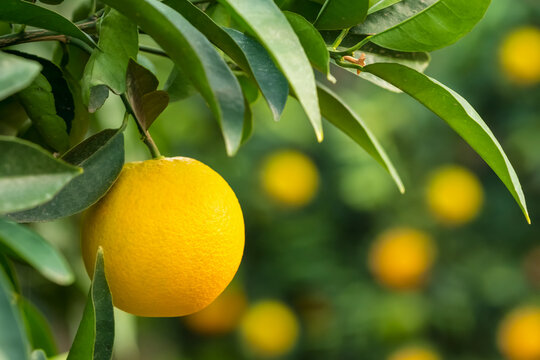 Ripe orange hanging on a tree in the fruit garden
