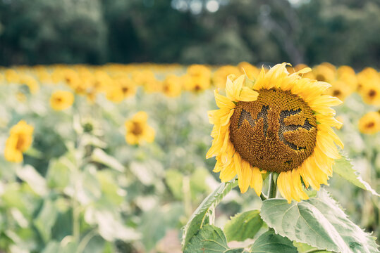 Word ME formed on blooming yellow sunflower growing in field in summer day in countryside for natural backgrounds and cards