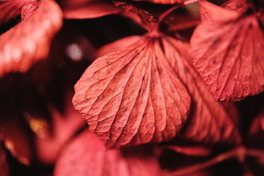 Macro view of red maple leaf with small veins on blurred background in nature