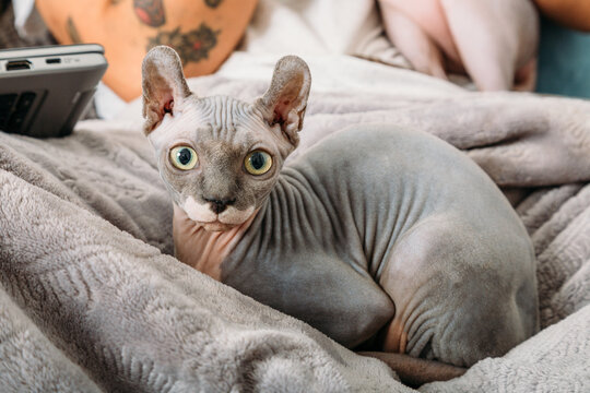 Adorable Sphynx cat lying on soft warm coverlet and looking at camera at home