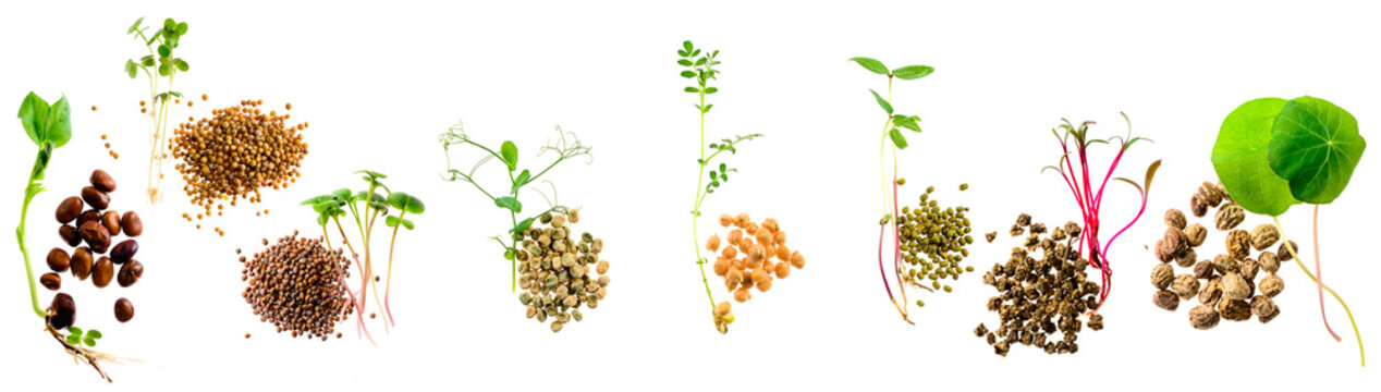 set of micro greens isolated on a white background grains and sprouts