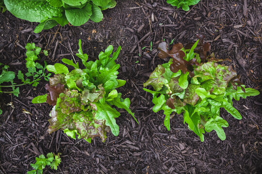 Top view of organic gourmet blend lettuce mix direct sowed from seed growing in a suburban kitchen garden in springtime