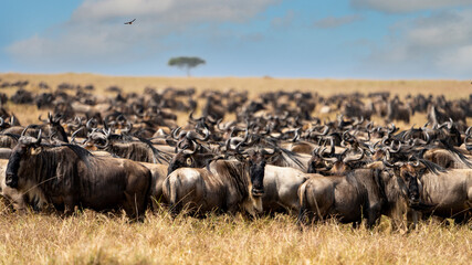 Obraz a big group of wildebeest walks in the plains of the serengeti - fototapety do salonu