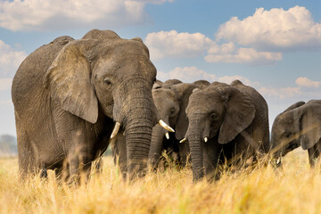 an elephant family walks in the African plains